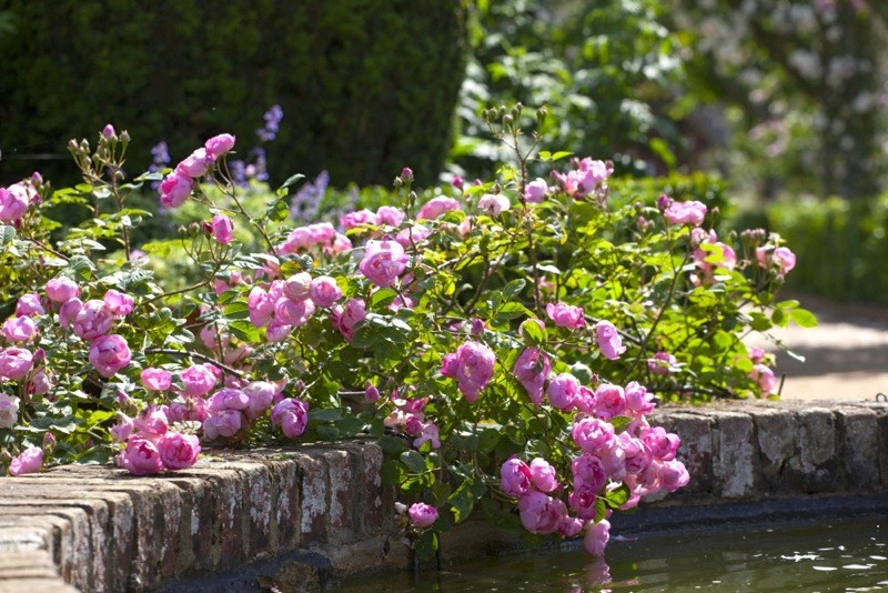 Rosa'Raubritter' growing by the side of the fountain in the walled rose garden in June at Mottisfont, Hampshire