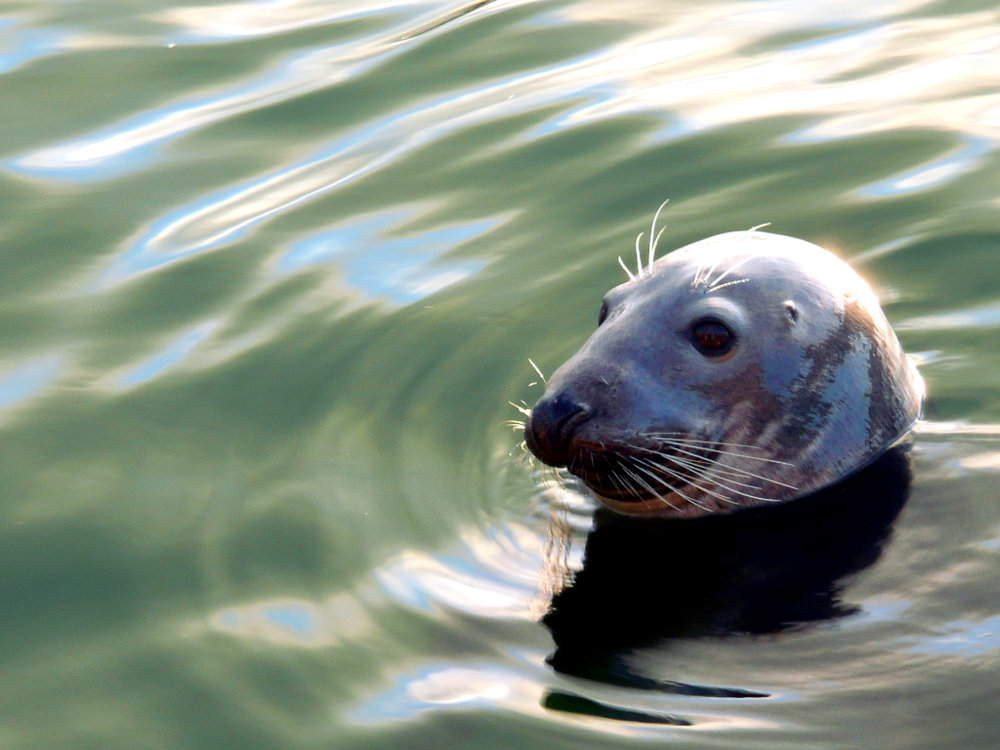 Seal in the harbour at St Ives Cornwall